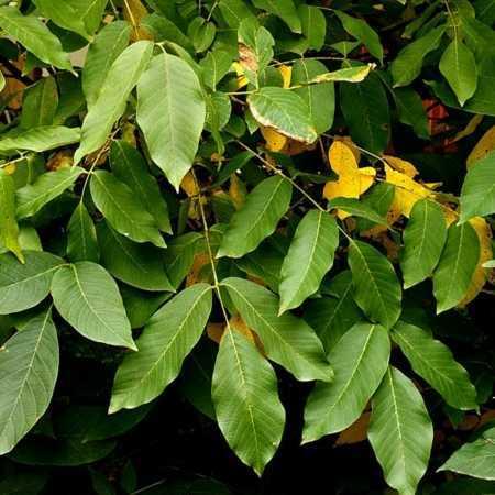 Balsam Peru 450x450 - Peru Balsam