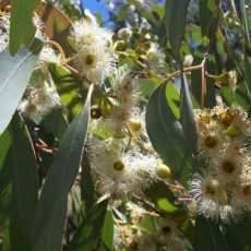 Eucalyptus radiata 230x230 - Eucalyptus