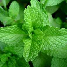 Mint leaves 230x230 - Peppermint