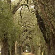 OakMoss 230x230 - Oak Moss