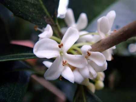 Osmanthus fragrans 450x338 - Osmanthus