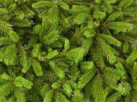 Pine trees 450x337 - Pine
