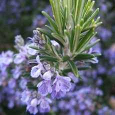 Rosmarinus officinalis 230x230 - Rosemary