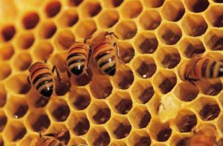bees wax 450x296 - Honey Bee - Bee's wax