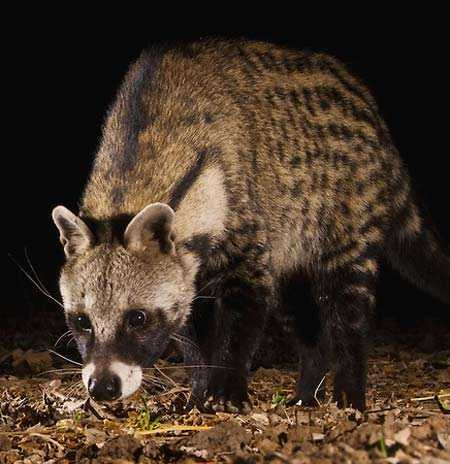 civet1 - News from Ethyopia, wild civet versus civet farms