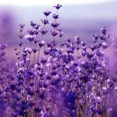 lavandula hybrida lavendin800 230x230 - Lavender Hybrid