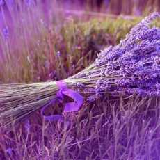 lavender essential oil 230x230 - Lavender