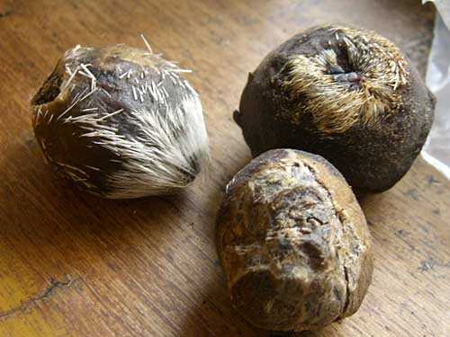 moschus moschiferus pods - The Kashmiri Musk deer