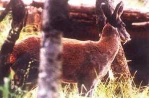 musk deer1 300x197 - musk_deer